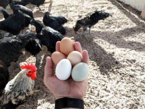 Ouă proasăt adunate din ogradă