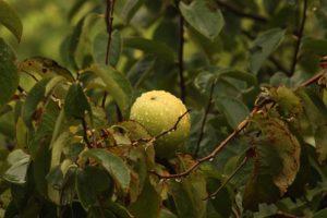Fruct de guavă crescut pe o ramură a copacului