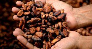 Persoană ține în palme boabe de cacao