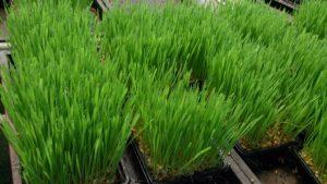 Răsad de iarbă de grâu