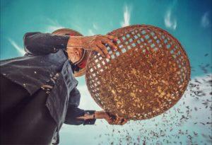 Lucrător al câmpului cerne orez brun